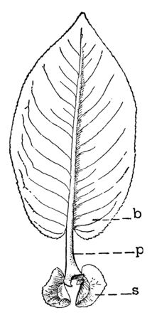 A picture showing the leaf of willow describing blade, petiole and stipules, vintage line drawing or engraving illustration. Çizim