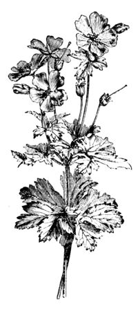 A picture is showing Flowering Branch of Geranium Ibericum Platypetalum. This is a herbaceous plant. It belongs to Geraniaceae family. Flowers are violet, with reddish streaks, vintage line drawing or