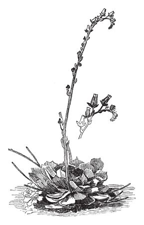 Cotyledon Secunda plant is also known as Old hen-and-chickens it is a soulful and evergreen plant, vintage line drawing or engraving illustration.