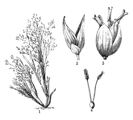 The grass in this frame is called Panicum Capillare. It is shown that the flowers are blooming and how the seeds are prepared from the bud, vintage line drawing or engraving illustration. Illusztráció