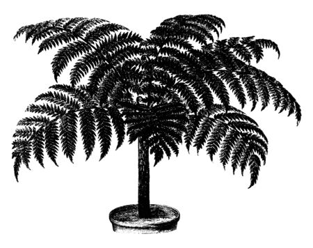A picture showing Alsophila Rebeccae Fern. This is a slender fern which is the reaching eight feet in height. The leaves are dividing in two parts with twenty to thirty on each side, vintage line drawing or engraving illustration. Çizim
