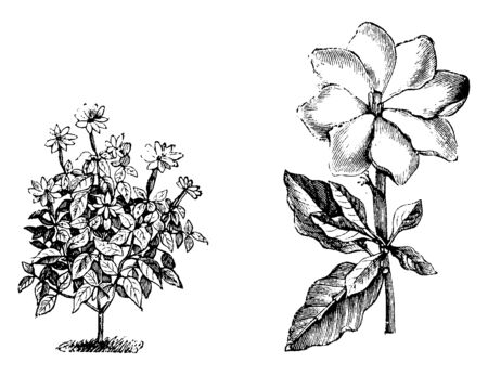 A picture is showing Habit and detached Single Flower of Gardenia Thunbergia. The Flower of this plant is white, fragrant and broad with long tubes. It has only one flower on each stem, vintage line drawing or engraving illustration.