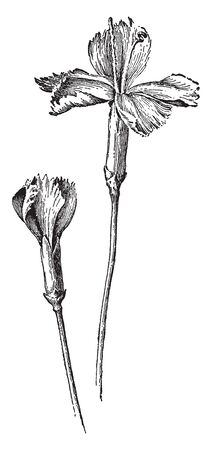 This is an image of Grenadin Carnation. The flowers are of medium size, single, and with fringed petals, vintage line drawing or engraving illustration.