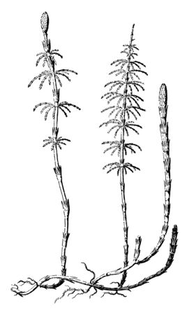 Picture of Scouring Rush plant. It is 2-5' tall, producing both fertile and infertile shoots. Each shoot has a single central stem that is jointed and unbranched, vintage line drawing or engraving illustration. Ilustração