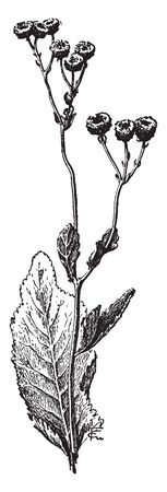 The image shows a Chrysanthemum Balsamita also known as costmary. The costmary is a perennial with oval serrated leaves and can grow up to 2 m high, vintage line drawing or engraving illustration. Illustration