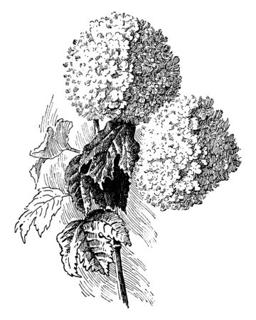 A picture showing the branch of Viburnum Opulus with clusters of white flowers and red fruit, vintage line drawing or engraving illustration.