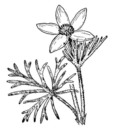 The genus Pulsatilla contains about 33 species of herbaceous perennials, Common names is pasque flower whose large purple bloom with a central boss of golden stamens and feathery leaves, vintage line drawing or engraving illustration. Imagens - 132896230