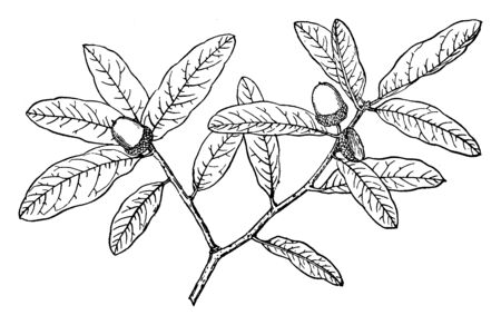 Picture shows the branch of Quercua Oblongifolia tree. Quercus Oblongifolia, commonly known as the Blue live oak, Sonoran blue oak, is an evergreen small tree or large shrub in the white oak group, vintage line drawing or engraving illustration.