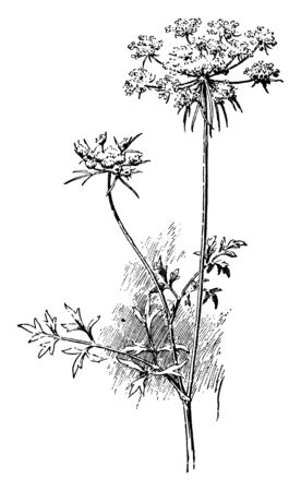 A picture of Carrot Umbel which is consists of a number of small flower stalks which grows from a common point, vintage line drawing or engraving illustration.