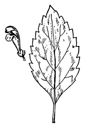 A picture shows the S. canescens Skullcap leaves and flower. Its leaves are long, narrow, sharp toothed-edges and flowers are purple, bell shaped. Upper part of the flower is like opening mouth, vintage line drawing or engraving illustration. Illustration
