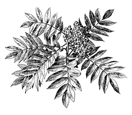 A picture shows Sorbus Americana Plant. It is the A perennial tree and relatively small tree. It has bunch of small spherical seeds, same as neem tree, vintage line drawing or engraving illustration.