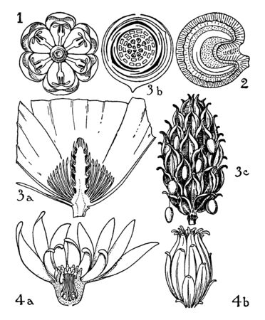 This is an image of Berberidaceae, Menispermaceae, Mahnoliaceae, and his parts flowers of Calycanthaceae Orders parts of berberis, menispermum, magnolia, and calycanthus, vintage line drawing or engraving illustration. Ilustrace