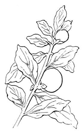 A plant native to Mexico, Central America, cultivated as garden ornamental. The star-shaped flowers and the fruit is a rounded berry turns from green to yellow and bright orange-red as it matures, vintage line drawing or engraving illustration.