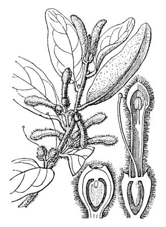 This is a picture of Loranthus. It is a genus of parasitic plants. It grows on woody tree branches, vintage line drawing or engraving illustration. Illustration