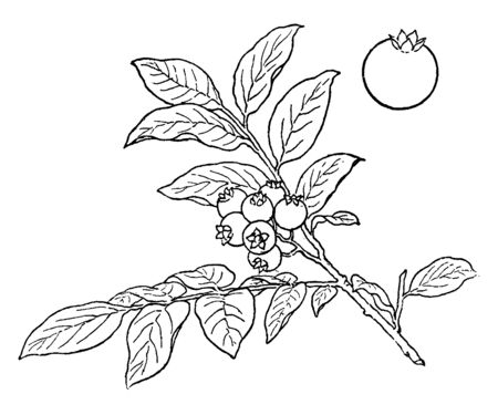 Blueberries are perennial flowering plants with indigo-colored berries. Blueberries shrub are usually in cluster. The leaves are glossy, oblong oval and long size, vintage line drawing or engraving il