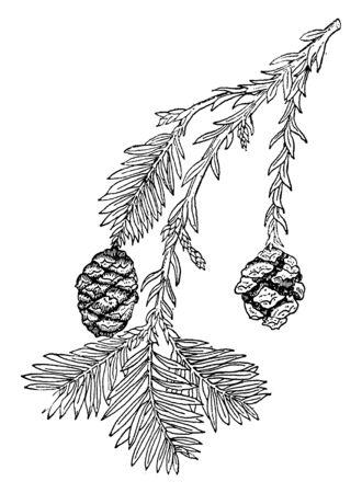 Ein Bild, das einen Zweig von Sequoia Sempervirens zeigt, der immergrün in den Vereinigten Staaten beheimatet ist, gedeiht normalerweise unter nassen und feuchten Umgebungen, Vintage-Linienzeichnung oder Gravierillustration.