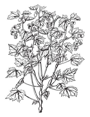 The Begonia Dregei is typically swollen on stem. The leaves are small with three to five short or long lobed. Flowers are formed by two sepals, circular or kidney-shaped, vintage line drawing or engraving illustration. 向量圖像