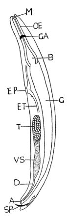 Nematode are a diverse animal phylum inhabiting a broad range of environments, vintage line drawing or engraving illustration.