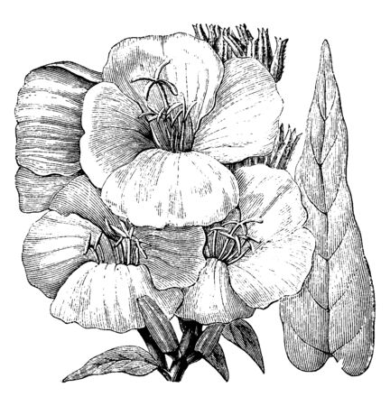 Oenothera biennis has a life span of two years, growing to 30-150 cm, tall. The leaves are lanceolate, broad, produced in a tight rosette the first year, and spirally on a stem the second year, vintage line drawing or engraving illustration. Ilustração
