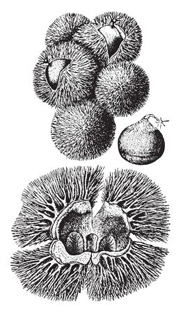 The image shows the nut and bur of a chinquapin shrub also known as Castanea Pumila. The fruit is a golden-colored cupule 2-3 cm in diameter with many sharp spines, maturing in autumn, vintage line drawing or engraving illustration.