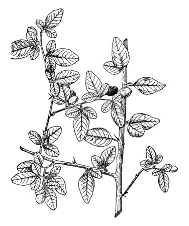 It is showing Triphasia trifolia shrub which is grow in excess of six feet, featuring glossy dark leaves, vintage line drawing or engraving illustration.