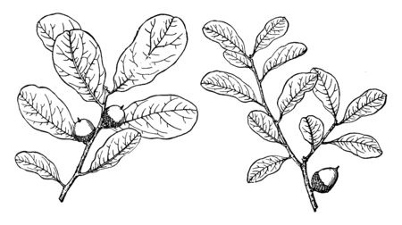 Picture shows the branch of Myrtle Oak. Myrtle Oak is native to the south-eastern United States. It has leaves with no lobes, hairless on the upperside and also on the underside except along the veins, vintage line drawing or engraving illustration.