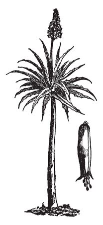 This picture is showing Aloe. The stem is long and thick. The leaves are thorny, long and thick, vintage line drawing or engraving illustration.
