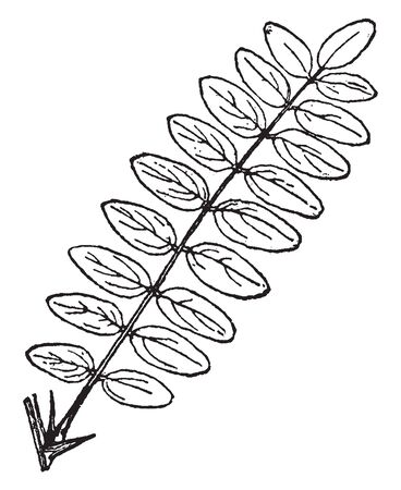 This is a compound leaf whose leaflets are arranged on both sides of a common leaf stalk, vintage line drawing or engraving illustration.