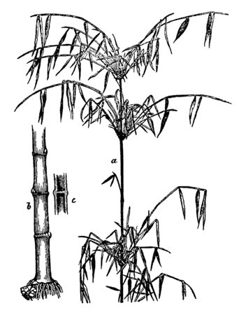 This is a image of part of bamboo where a.- upper portion of the stem with foliage. b.- root stem. c.- section of stem. Bamboo, the common name of the arborescent grasses, vintage line drawing or engraving illustration.