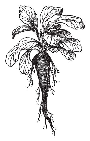 This is a picture of root of Campanula Rapunculus. Its upper stem leaves are stalkless and broad, vintage line drawing or engraving illustration. 向量圖像