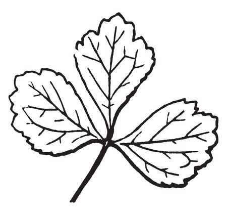 The leaf shape is round and heart shaped. Leaf attached to stalk. The stalk is short and thin, vintage line drawing or engraving illustration. 向量圖像