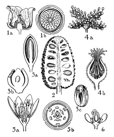 This picture is showing a part of flower. This picture is showing a growth orders. This picture is showing a petal, stigma, seed, anther, all internal parts of flower, vintage line drawing or engraving illustration.