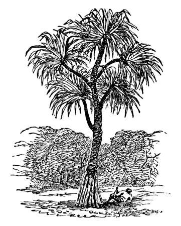 Screw-pine is a tropical tree. They are more closely related to palms, grasses and some Orchids. They grow along seacoasts and in marshy places and forests of tropical and subtropical regions, vintage line drawing or engraving illustration.