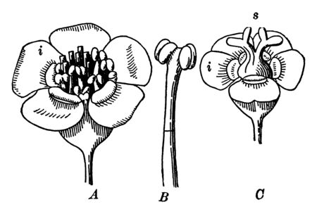 A picture shows Part of Flowering Spurge Plant. A shows flower-cluster with involucre, the whole appearing like a single flower, B shows single staminate flower, C shows immature fertile flower, vintage line drawing or engraving illustration.
