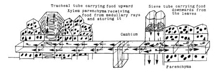 A Diagram showing the transport of food through the sieve tubes, the medullary rays and the tracheal tubes, and their storage in the parenchyma cells of the wood and bark, vintage line drawing or engraving illustration. Standard-Bild - 132895281