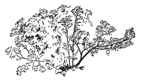 This is the image of Currant Bush plants, vintage line drawing or engraving illustration.