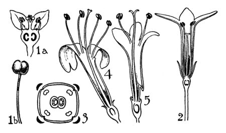 A picture, thats showing a orders of Rubuaceae and Valerianaceae. This is a flower part Anther, ovary, petals, and pedicel, vintage line drawing or engraving illustration.