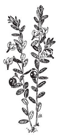 This is the Cranberry plant. The plant has small leaves and flower which leaves are bending down and having straight threads-like fiber. it looks like a pollen grains and it also has small fruits, vintage line drawing or engraving illustration. Stock fotó - 132903362