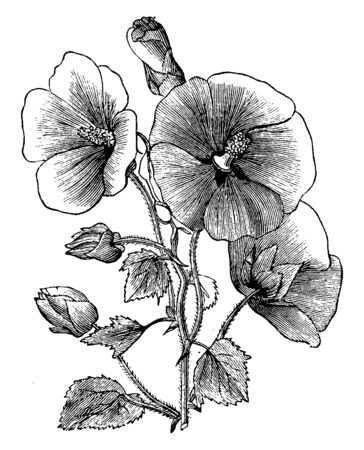 The flower which is seen in this picture is one of the collections of Malope Trifida Grandiflora. This big flower belongs to the variety of Malopes Trifida, vintage line drawing or engraving illustration.