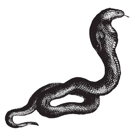 Cobra is a species of venomous snake in the family Elapidae, vintage line drawing or engraving illustration.