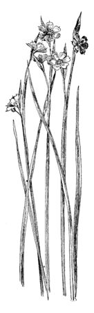 Blue-eyed grass is noted for its violet-blue flowers and branched flowering stems. Though its foliage is grass-like, the blue-eyed grasses belong to the iris family not the grass family, vintage line drawing or engraving illustration.