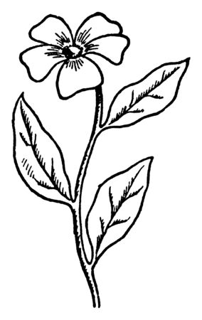 There are simple flower. Flowers are five petals it heart shaped. Ovate shaped leaves are alternate arranged on the stem, vintage line drawing or engraving illustration. Иллюстрация