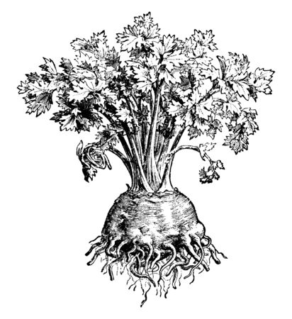 Celeriac is helps lose weight by activating your metabolism and also it helps curing kidney diseases, vintage line drawing or engraving illustration.