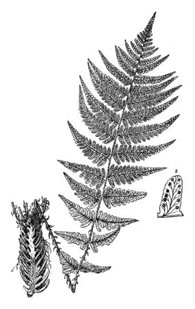 This is Fern Hybrid along with Vascular roots. It looks like a neem tree and leaves are like neem-tree-leaf. This is non-flowering plants and leaf contains the small pores, vintage line drawing or engraving illustration. Stock fotó - 132896198