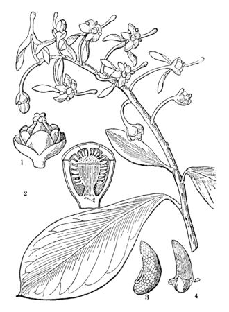 A picture, that's showing a Ruyschia plant parts. This picture is showing a section of the ovary, seed, and flower. The stem is thick and rounded, vintage line drawing or engraving illustration.