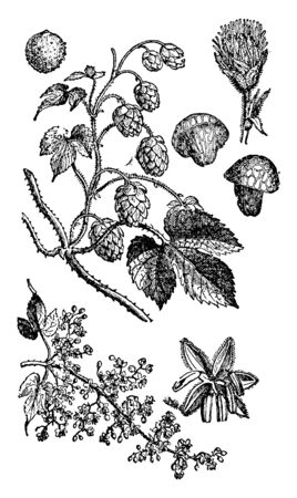 The hops are a small genus of flowering plants. Many different varieties of hops are grown by farmers all around the world, with different types being used for particular styles of beer, vintage line drawing or engraving illustration. Ilustração