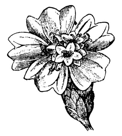 The Asteraceae comes from the type genus Aster, the single cluster of flower. The flowers have five petals, arranged in circle around the center of flower, vintage line drawing or engraving illustrati