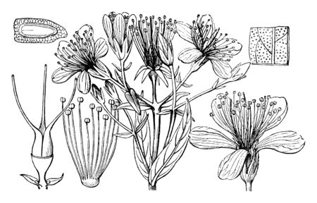 Picture shows Hypericum flower & its part 1st is an entire flower, 2nd is a bundle of stamens,3rd is a pistil with 3 carpels,4th a seed laid horizontally and cut through, to show embryo & netted testa, vintage line drawing or engraving illustration. Ilustración de vector