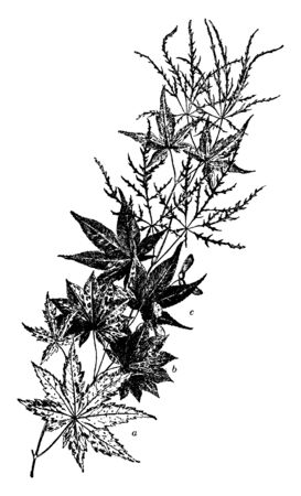 This picture is showing a several varieties of Japanese maple. Japanese maple trees add grace and beauty through the seasons, vintage line drawing or engraving illustration.