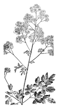 Thalictrum polygamum is an herbaceous perennial plant native to wet areas in eastern North America, vintage line drawing or engraving illustration. Imagens - 132903471
